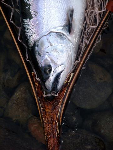 STAG(鹿角)モデル55~60センチ(桜鱒/大型鮭鱒用)受注開始のお知らせ