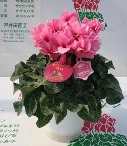 八重咲きファルファーレ7号鉢