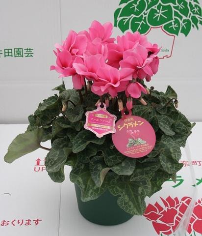 八重咲きファルファーレ6号鉢