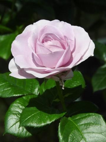 【ローズ・薔薇の魂】モニター