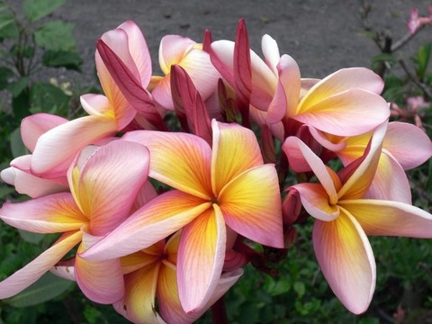 【数量限定・6月上旬より発送】入手が難しい名花品種が復活! プルメリアのベアルート発根苗 'Pretty Princess' 栽培セット(スリット鉢・プルメリア専用培養土つき)