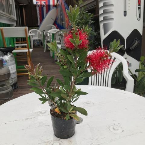 【鮮やかな花が魅力】関東以西では庭植えも可! ブラシの木 3号ポット苗(花芽つき)・数量限定