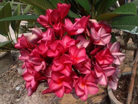 プルメリアのベアルート発根苗 'Puang Roi (100 Flowers)' 栽培セット(スリット鉢・プルメリア専用培養土つき)【完売】