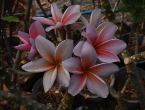 【SJプレミアム品種】個性的な色彩の激レア品種プルメリア 'Discovery' カット苗