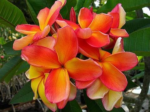 【3月上旬より発送】超希少種! プルメリアのベアルート発根苗 'Orange Fanta' 栽培セット(スリット鉢・プルメリア専用培養土つき)【数量限定】