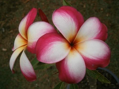 プルメリアのベアルート発根苗 'Candy Pink'' 栽培セット(スリット鉢・プルメリア専用培養土つき・Premium品種)