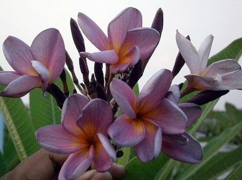 【3月上旬より発送】3本限定・2019新品種!プルメリアのベアルート発根苗 'Lucky Purple' 栽培セット(大輪の赤花種・スリット鉢・プルメリア専用培養土つき)
