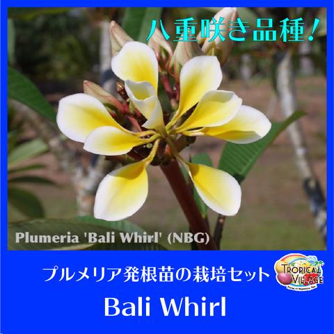 【国産カット苗】珍しい八重咲き巨大輪プルメリア 'Bali Whirl' カット苗 (農園で収穫し発根促進処理済みの苗をお届け)