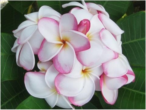 【3月上旬より発送】プルメリアのベアルート発根苗 'My Valentine' 栽培セット(バラの香り・米国の名花・スリット鉢・プルメリア専用培養土つき・Premium品種)