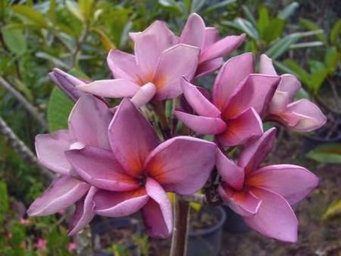 【数量限定】プルメリアのベアルート発根苗 'Violet Princess' 栽培セット(希少種・スリット鉢・プルメリア専用培養土つき・Premium品種)