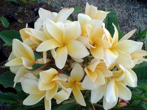 【数量限定・3月中旬頃より発送】2020日本初上陸! 美花を咲かせる名花品種・プルメリアのベアルート発根苗 'Thailand Yellow' 栽培セット(2020年日本初上陸品種・スリット鉢・プルメリア専用培養土つき)