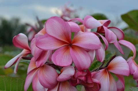 【幻のプルメリア】2020 NEW RELEASE! クキアット博士が作出した巨大輪のスジ花品種プルメリア 'Dwawrf Raspberry Finesse' カット苗