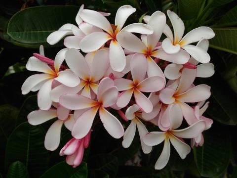 【3月上旬より発送】プルメリアのベアルート発根苗 'Dwarf Singapore Pink' 栽培セット(スリット鉢・プルメリア専用培養土つき・Premium品種)