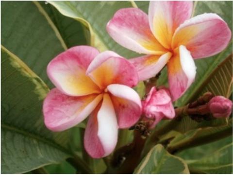 プルメリアのベアルート発根苗 'Silver Leaf'(大苗) 栽培セット(スリット鉢・プルメリア専用培養土つき)