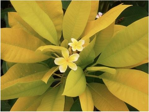プルメリアのベアルート発根苗 'Siam Gold -Golden Lime Leaf'(大苗) 栽培セット(スリット鉢・プルメリア専用培養土つき)【完売】