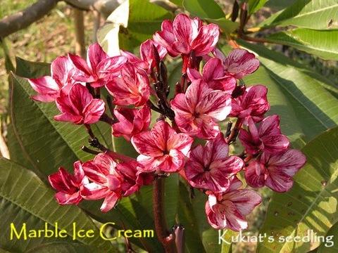 幻のプルメリア 'Marble Ice Cream' (カット苗)