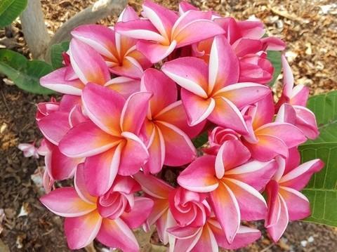 【数量限定・3月中旬頃より発送】日本初上陸! 美しい花をブーケ咲きさせるプルメリアのベアルート発根苗 'J-23' 栽培セット(スリット鉢・プルメリア専用培養土つき)