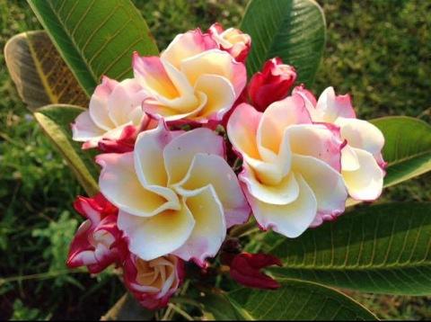 【SJプレミアム品種】個性的な色彩のプルメリア 'Chrystal Rose' カット苗