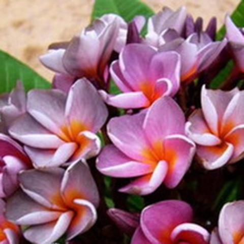 【数量限定】プルメリアのベアルート発根苗 'Violet Queen' 栽培セット(希少種・スリット鉢・プルメリア専用培養土つき・Premium品種)