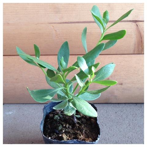 【超レア】ハワイの固有種  'マウンテン・ナウパカ' 3号ポット苗(白花種)