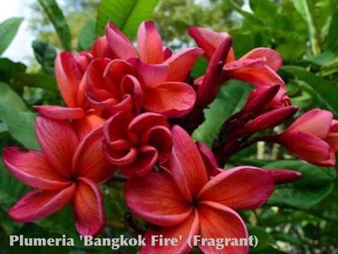 【4月中旬以降発送】プルメリアのベアルート発根苗 'Bangkok Fire' 栽培セット(スリット鉢・プルメリア専用培養土つき・Premium品種)