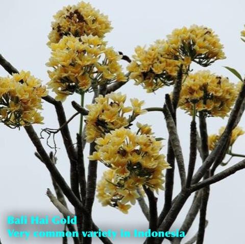 【入手困難品種】数量限定! バリ島生まれの幻のプルメリア 'Bali Hai Gold' カット苗