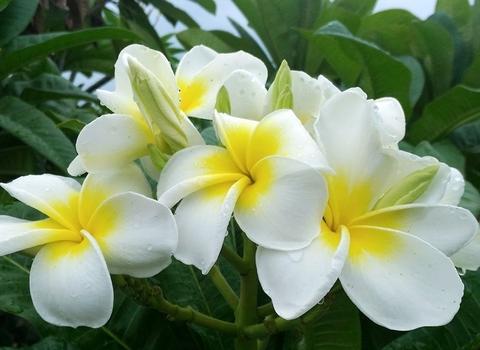 【人気の白花品種】プルメリアのベアルート発根苗 'Hawaiian White' 栽培セット(ブーケ咲き品種・スリット鉢・プルメリア専用培養土つき)