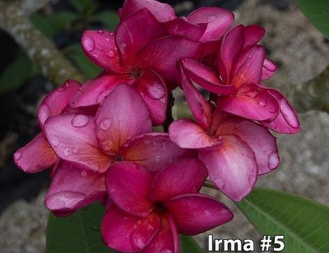 【7月末より発送】2019年初導入品種! コンパクト種・プルメリアのベアルート発根苗 'Irma #5'栽培セット(スリット鉢・プルメリア専用培養土つき)