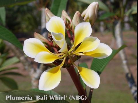 【特別SALE! 通常価格の50% OFF】珍しい八重咲きプルメリアのベアルート発根苗 'Bali Whirl' 栽培セット(スリット鉢・プルメリア専用培養土つき・Premium品種)