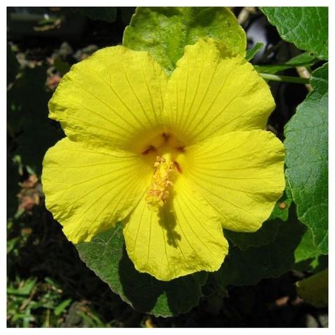 ハワイ固有種のハイビスカス'ブラッケンリッジー・モクレイアヌス'(4号スリット硬質ポット)