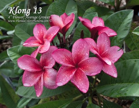 【WINTER SALE・30% OFF】クキアット博士の代表作のプルメリア 'Klong 13' 鉢植え苗木 (20,000円→14,000円)