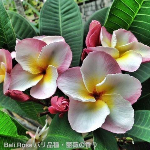 【国産カット苗・1本限定】薔薇の香り! バリ島生まれの希少種プルメリア 'Bali Rose' カット苗 (発根促進処理済み苗をお届け)