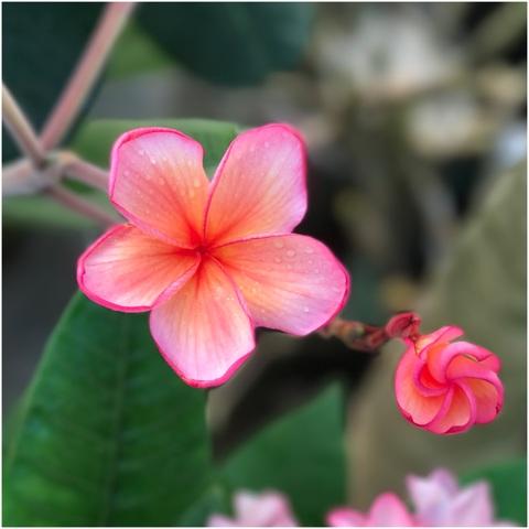 【国産カット苗】世界初リリース! バリ島生まれのプルメリア 'Bali Big Orange' カット苗 (1本限定・農園で収穫し発根促進処理済みの苗をお届け)
