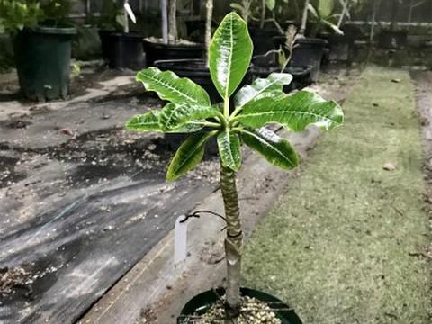 2018初上陸品種! ヤシのような樹形が可愛い矮性プルメリアのベアルート発根苗  'Dwarf Coconut' 栽培セット(希少種・数量限定・スリット鉢・プルメリア専用培養土つき)