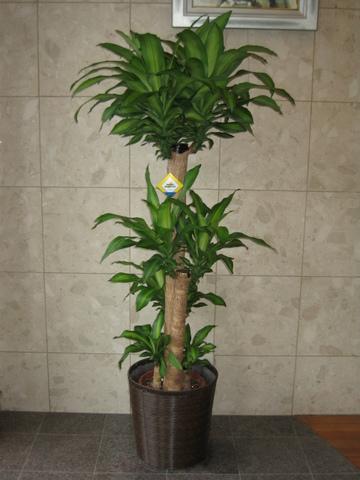 d-1501 幸福の樹(鉢サイズ:10号)
