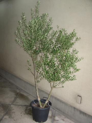 d-7001 オリーブの木(2品種植え)