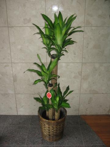 d-1055 幸福の樹(鉢サイズ:8号)-バスケット付き-