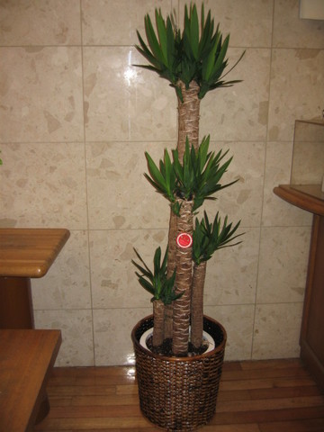 d-1502 青年の樹(鉢サイズ:10号)