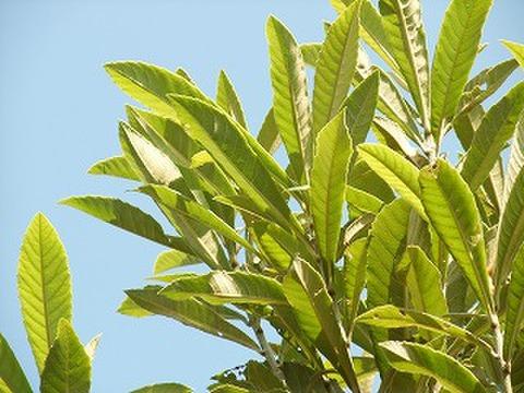 フラワーエッセンス 枇杷の葉