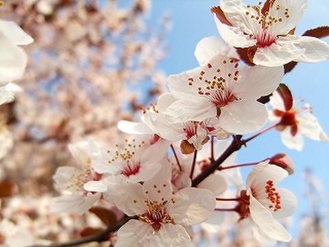 フラワーエッセンス 山桜