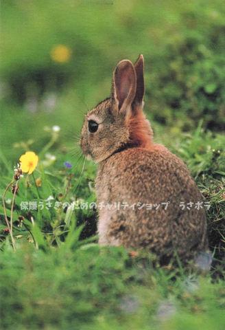 ポストカード【G】~村川荘兵衛~スコットランドのうさぎ
