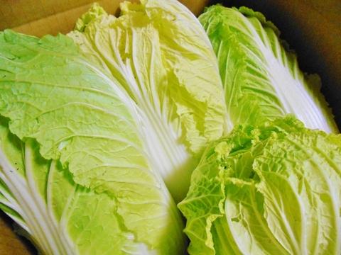 自然栽培 白菜1玉(お試し購入可能)