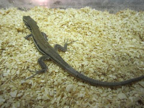 パルマカナリアカナヘビ