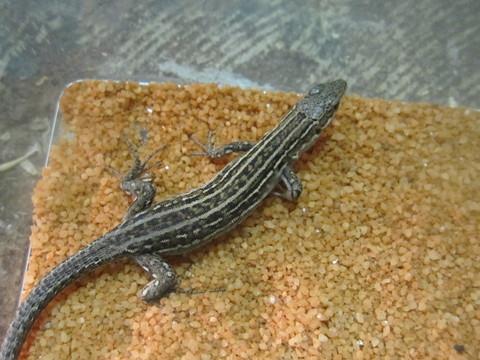 シクラカベカナヘビ(メス)