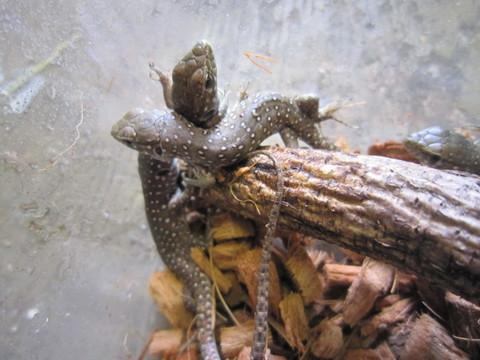 ホウセキカナヘビ(ベビー)