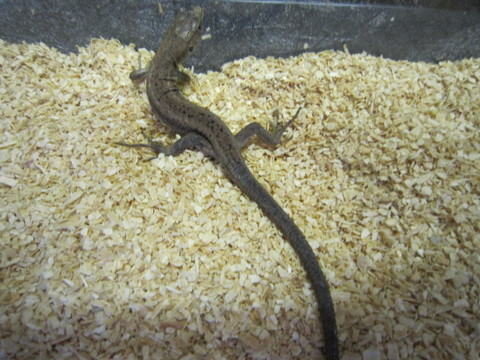 ミドリカナヘビ(ベビー)