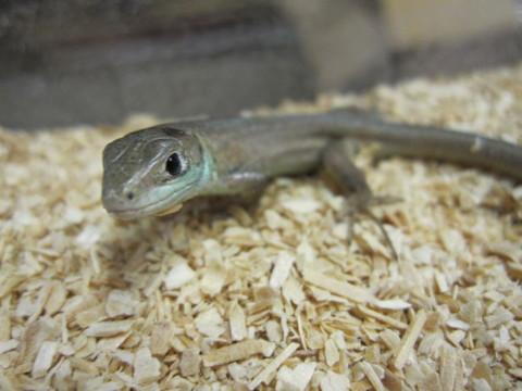 ニシミドリカナヘビ