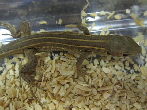オオミドリカナヘビ(ベビー)