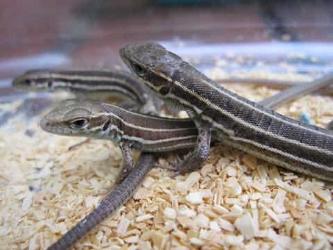カスピミドリカナヘビ(ベビー)