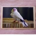 ポストカード「白文鳥4」(DGY0033)